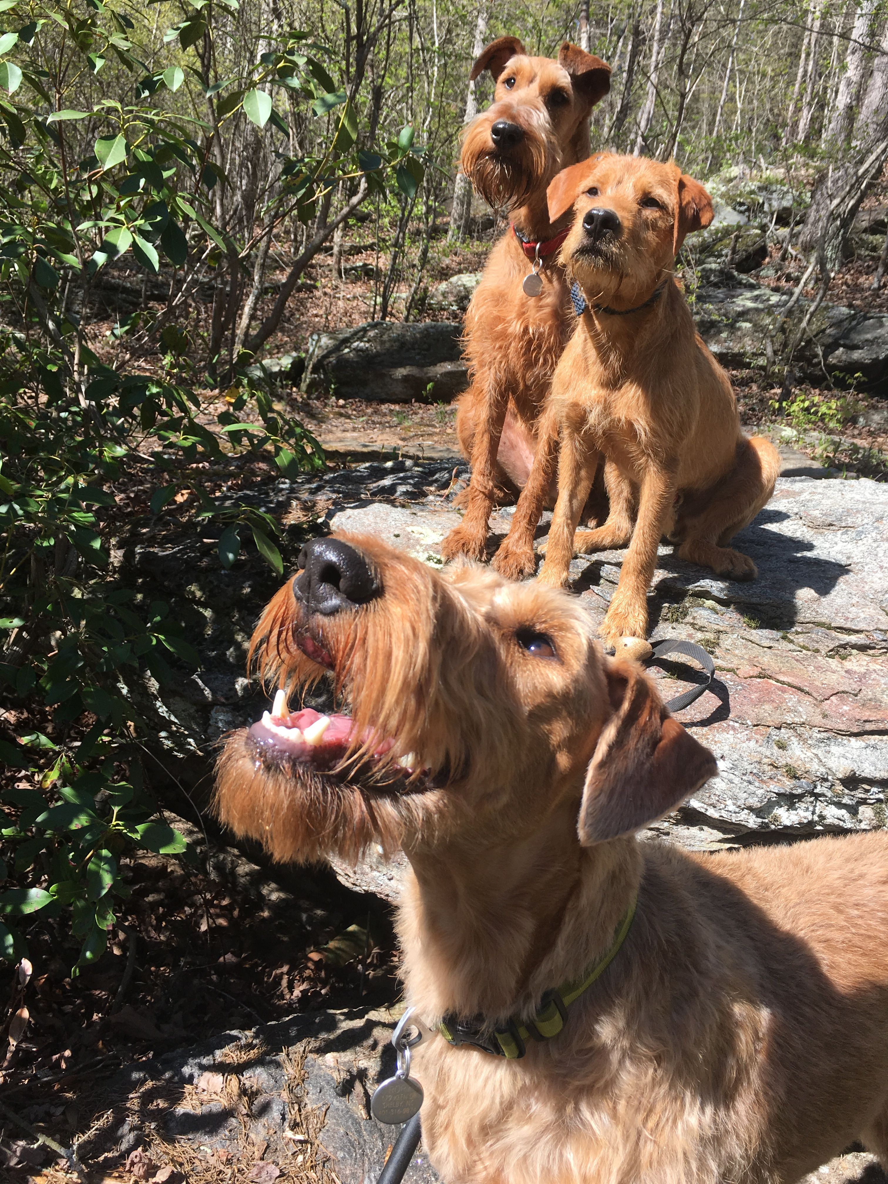 Rory And Redd Took Their New Little Rescue Brother Ruston On His First 9 Mile Hike He S A Terrier Mix And A G Irish Terrier Pitbull Terrier Bull Terrier Dog