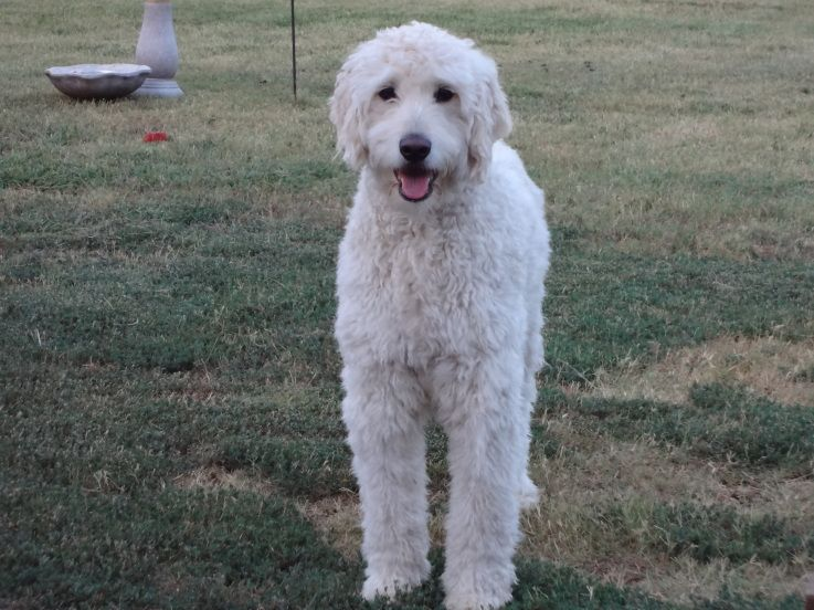 14++ Goldendoodle haircuts for summer ideas