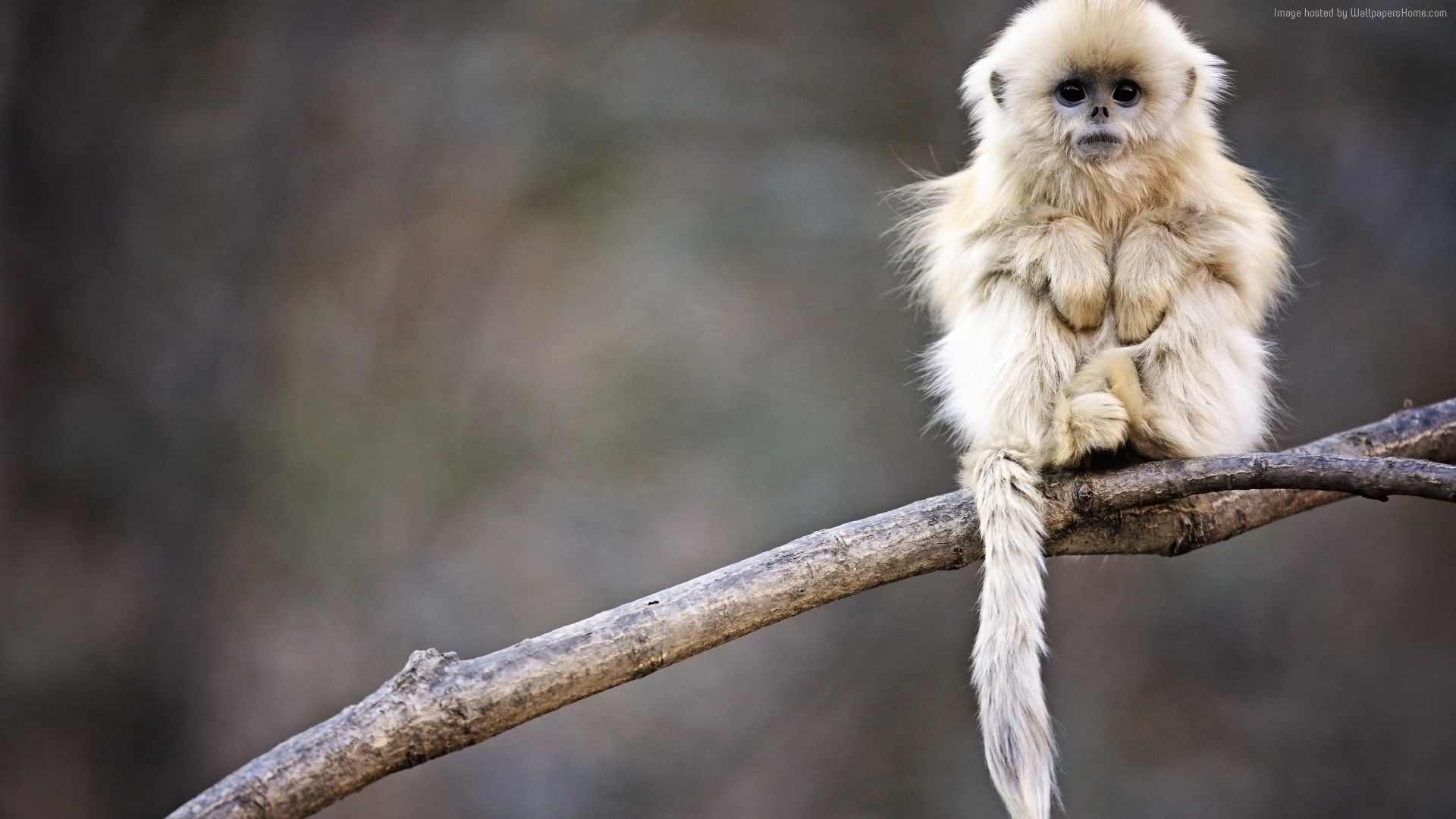 snub nosed monkey wallpaper animals