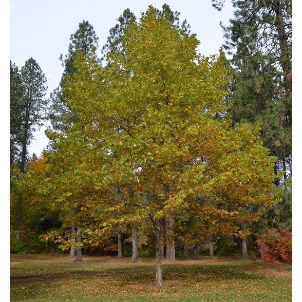 Platanus acerifolia 'Bloodgood' - Trees - Plant Type
