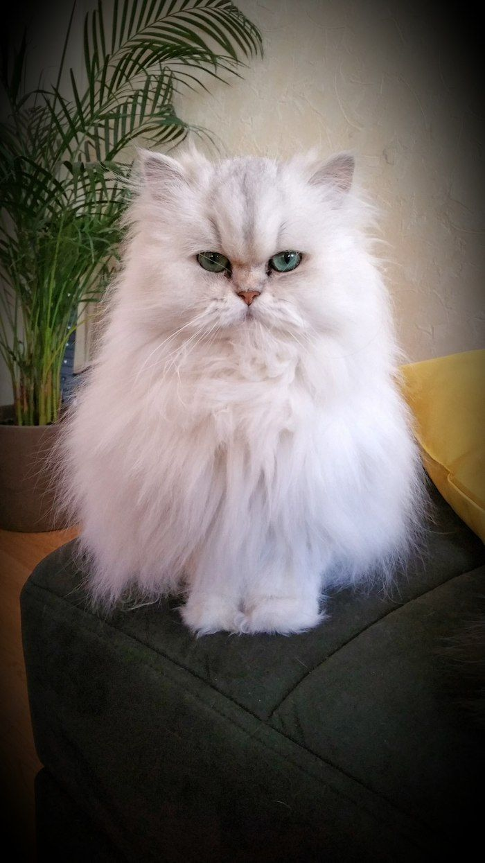 Where Is My Meal Cat Animal Persan Pets Chat Cute Angry Discover Other Photos Of Givenchy Here Http Ww Pretty Cats Beautiful Cats Persian Kittens