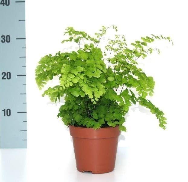 Zimmerpflanzen Für Sonnige Standorte farn frauenhaarfarn fragrans zimmerpflanzen farne und daumen