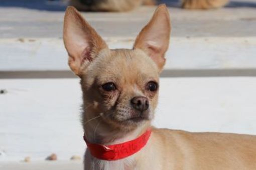 Colorado Springs Co Chihuahua Meet Oscar A Dog For Adoption