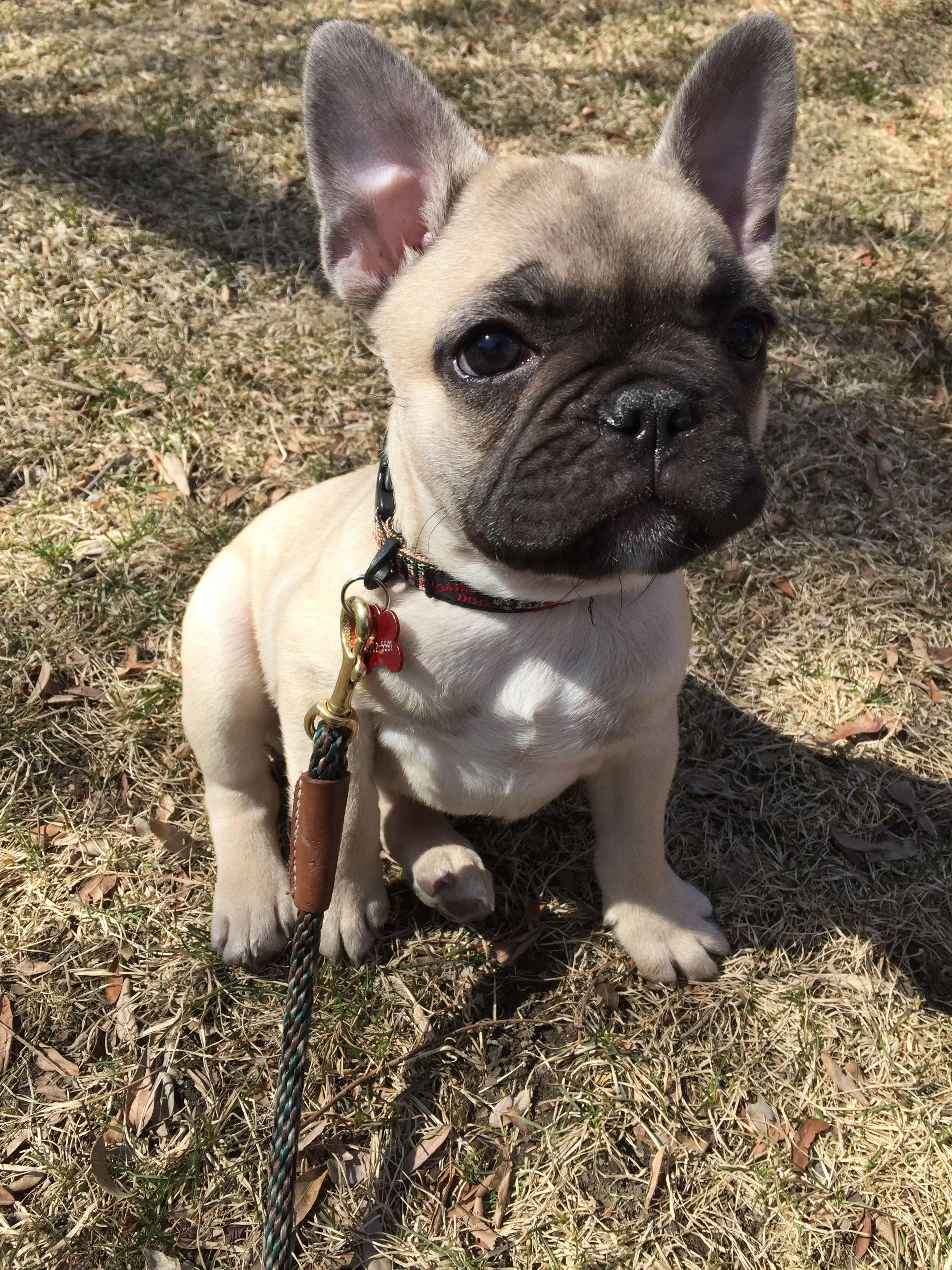 French Bulldog Puppy Baby Dogs