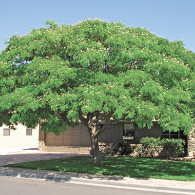 The Mimosa Is A Gorgeous Flat Topped Deciduous Tree That
