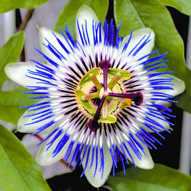 Passionsblume Passion Flower Flowers Nature