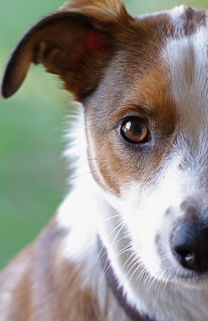 The Jack Russell Stare. They will keep staring at you until you ...