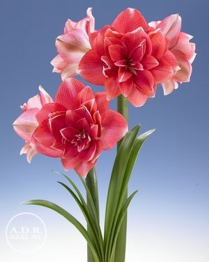 Amaryllis Dutch Double Dream Http Www Adrbulbs Com Cclib Image Plants Deta 2312 Jpg Amaryllis Flowers Flora Flowers Beautiful Flowers