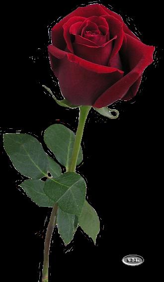 Pin By Nancy Kleist On Flowers Pinterest Fleurs Rose And Fleur