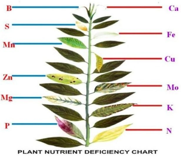 Plant nutrient deficiency leaf illustrations and charts for Soil nutrients