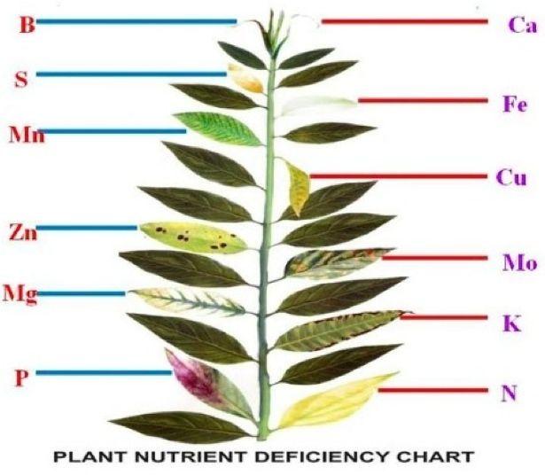 Big picture agriculture plant nutrient deficiency leaf for Soil nutrients