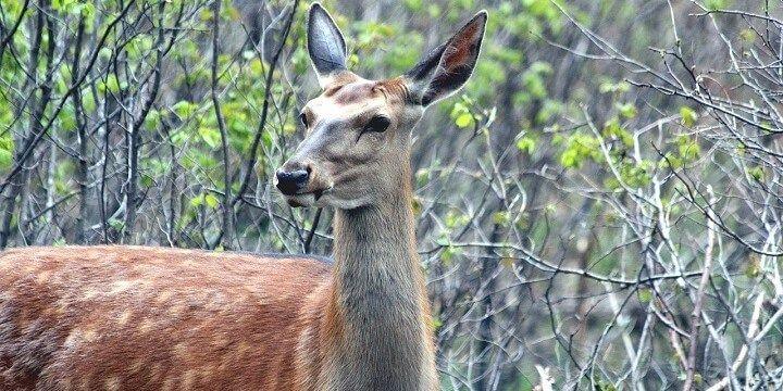 Deer, Russia