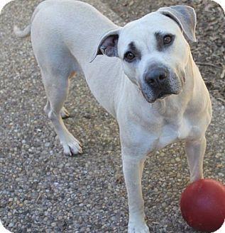 10 16 16 Labrador Retriever Mix Dog For Adoption In Dallas Texas