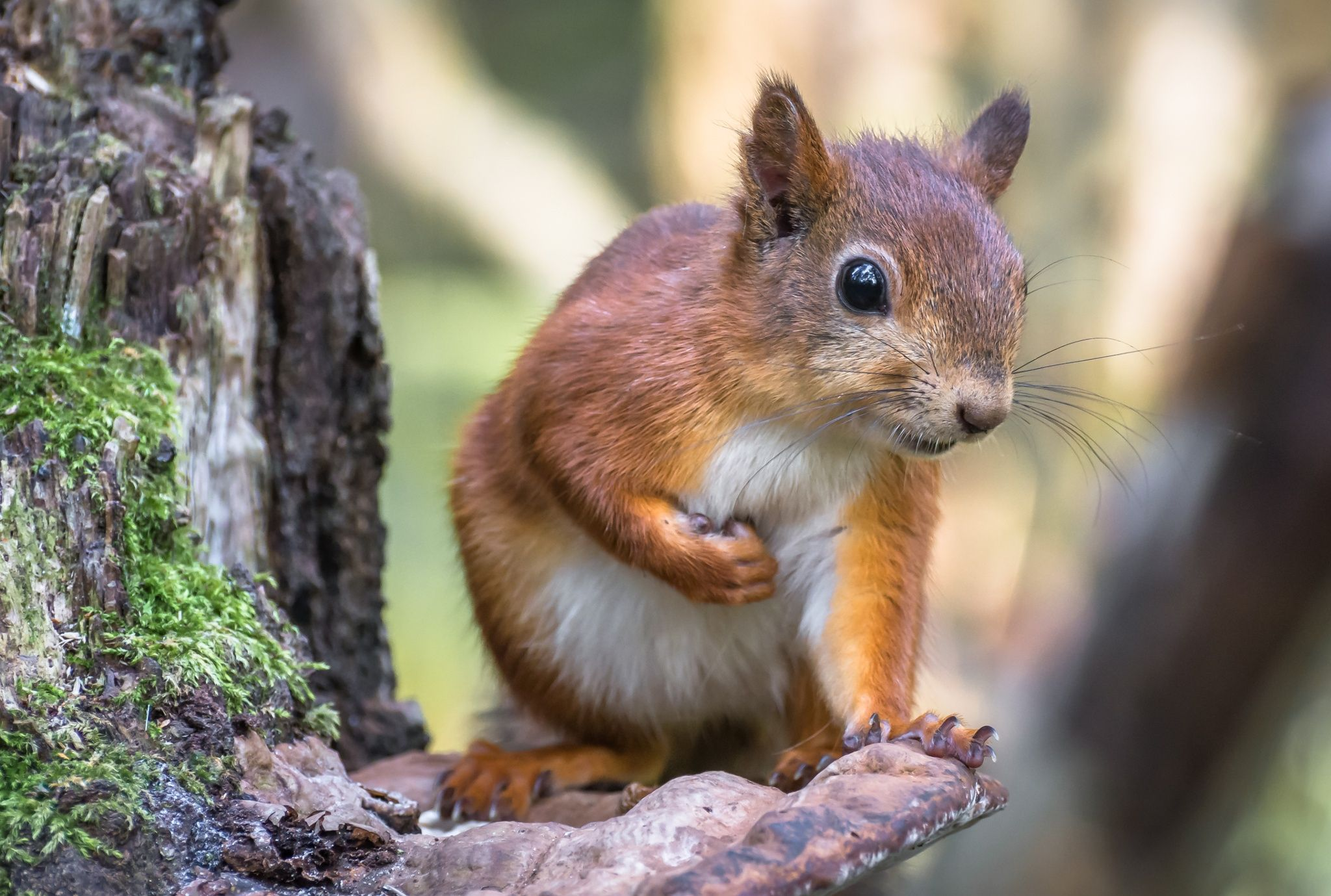 Young red squirrel by Hannu Rämä on 500px
