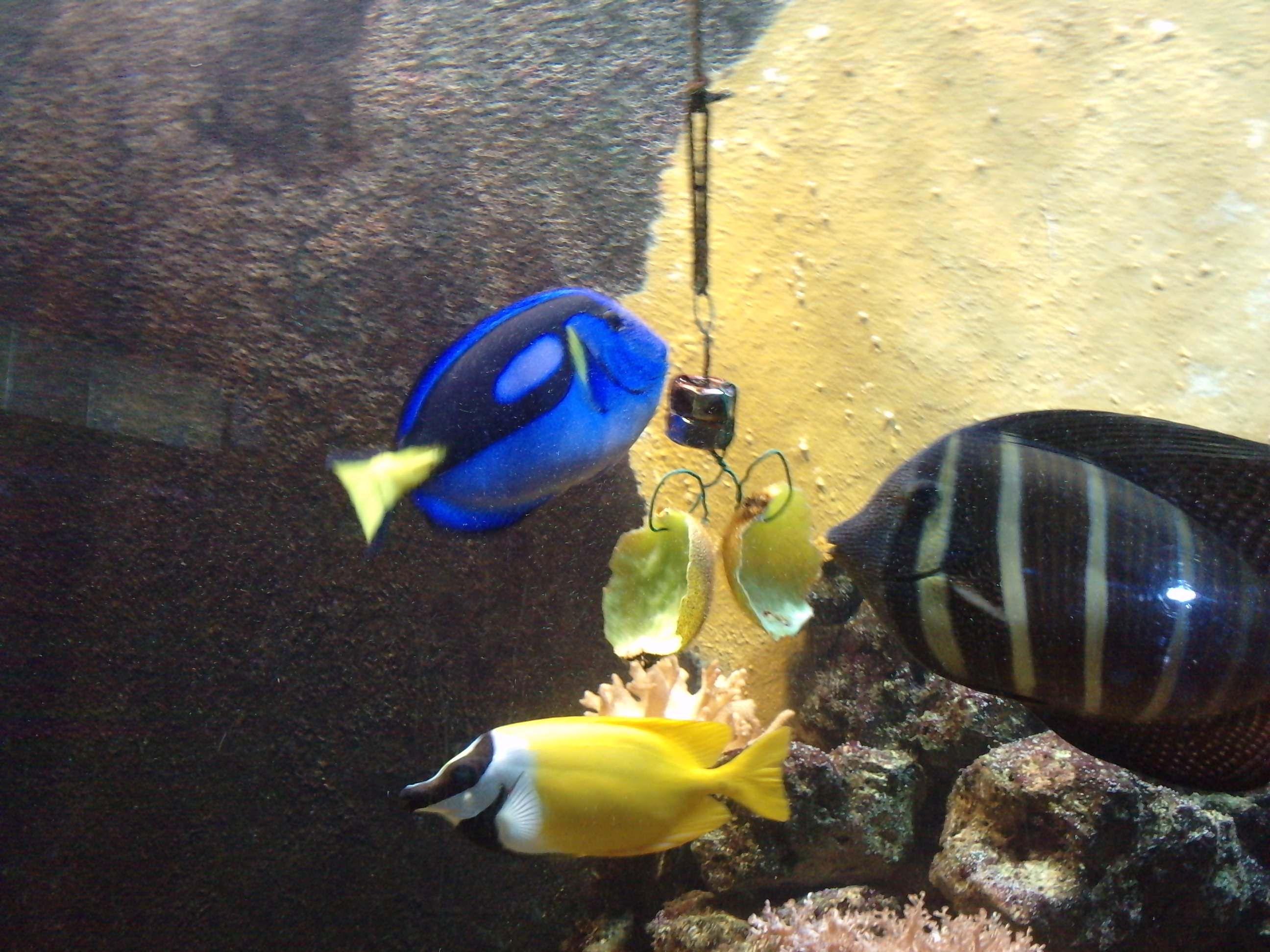 Aqui peces tropicales con la llamada comida de distraccion for Comida para peces tropicales acuario