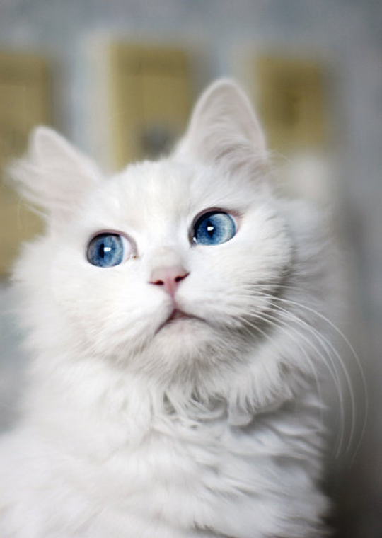 White Beauty! Cat Smirk Chats blancs, Chats et chatons