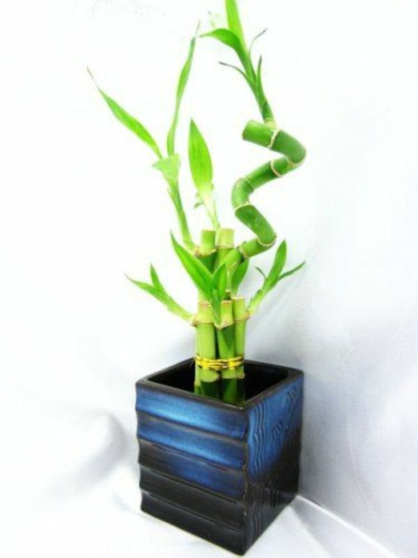 Lucky Bamboo Indoor Plants Flower Pot Vase Asia Blue