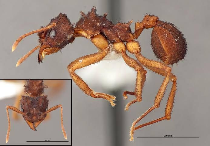 fungus-growing ant (Trachymyrmex jamaicensis)   insects   Pinterest ...