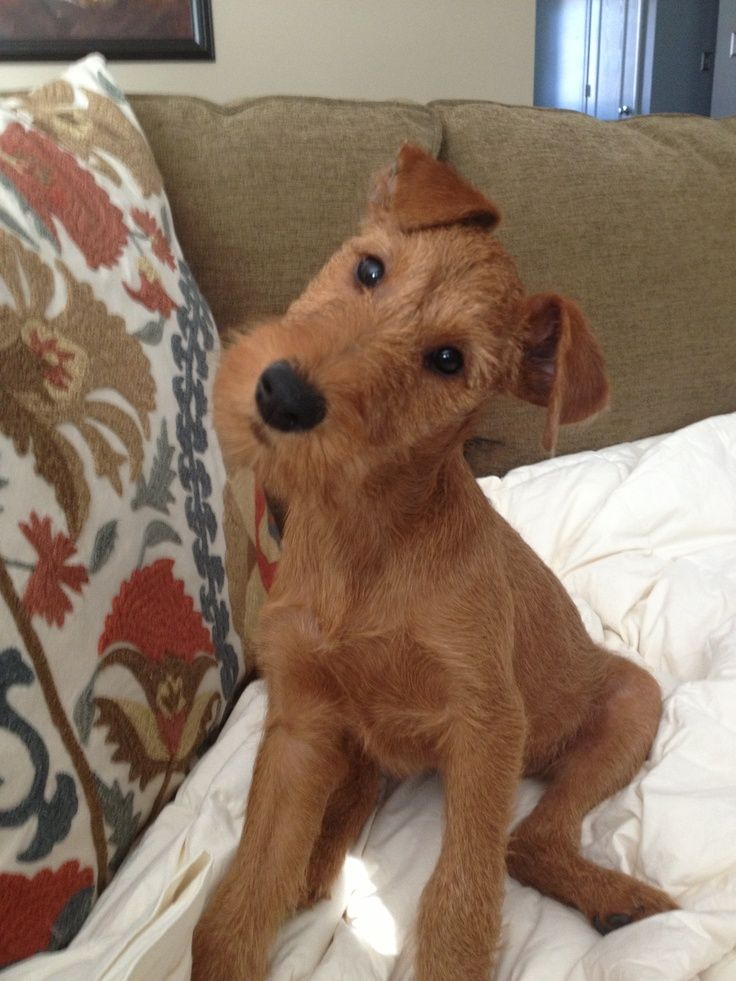 Okay Is This The Cutest Puppy Ever Or What Irish Terrier