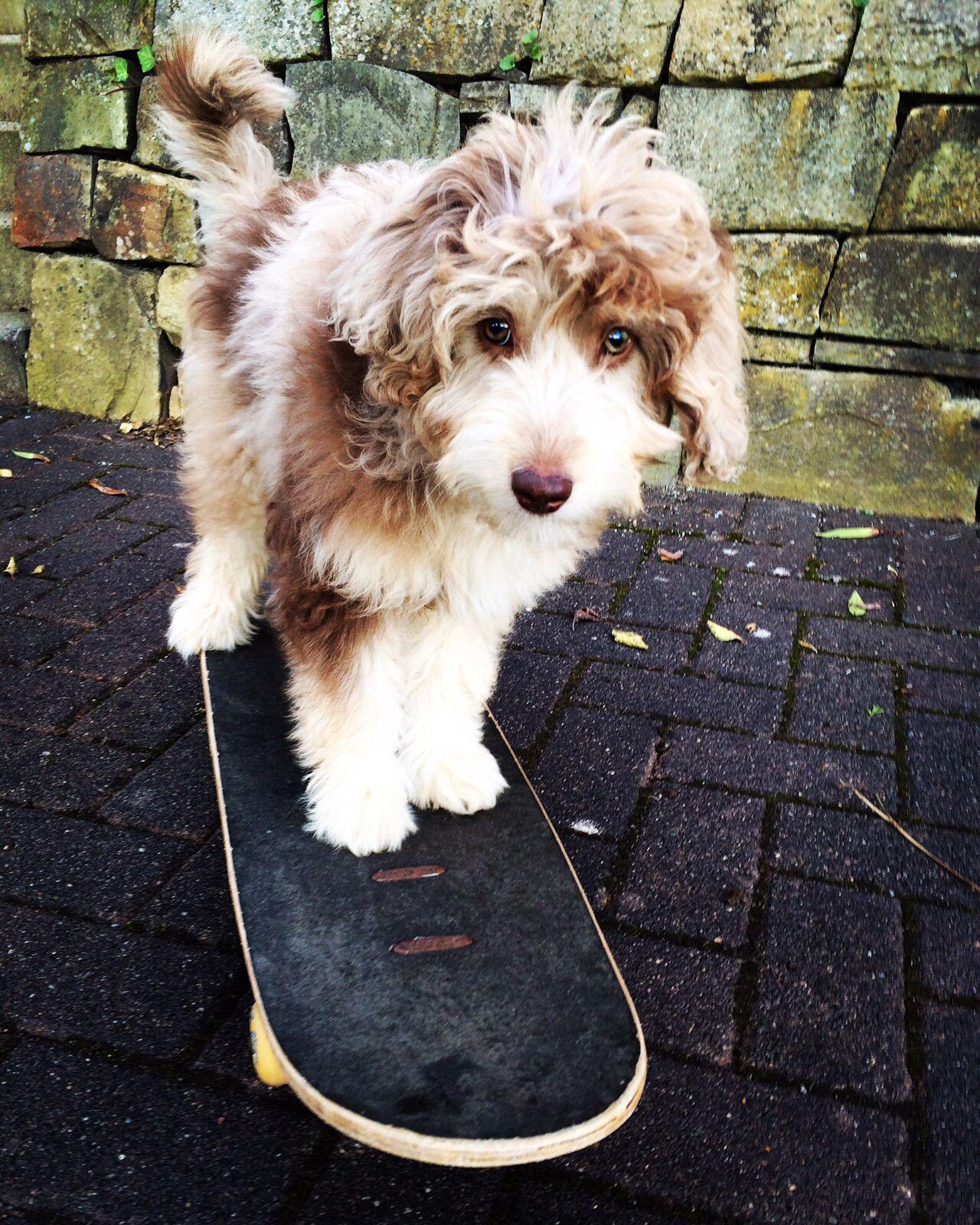 Aussiedoodle Sportlich Poodle Cross Breeds Doodle Dog Breeds