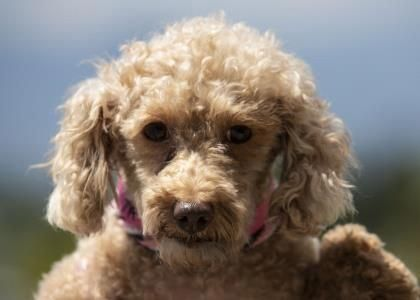 The Eager Poodle Puppies Health Poodleofinstagram