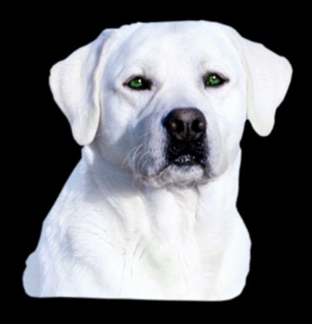 Snow White Lab With Green Eyes Lab Dogs Labrador Retriever Labrador Puppy