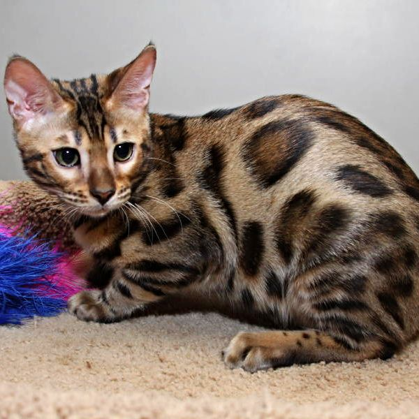 Rising Sun Farm Bengals Bengal Cat Kitten