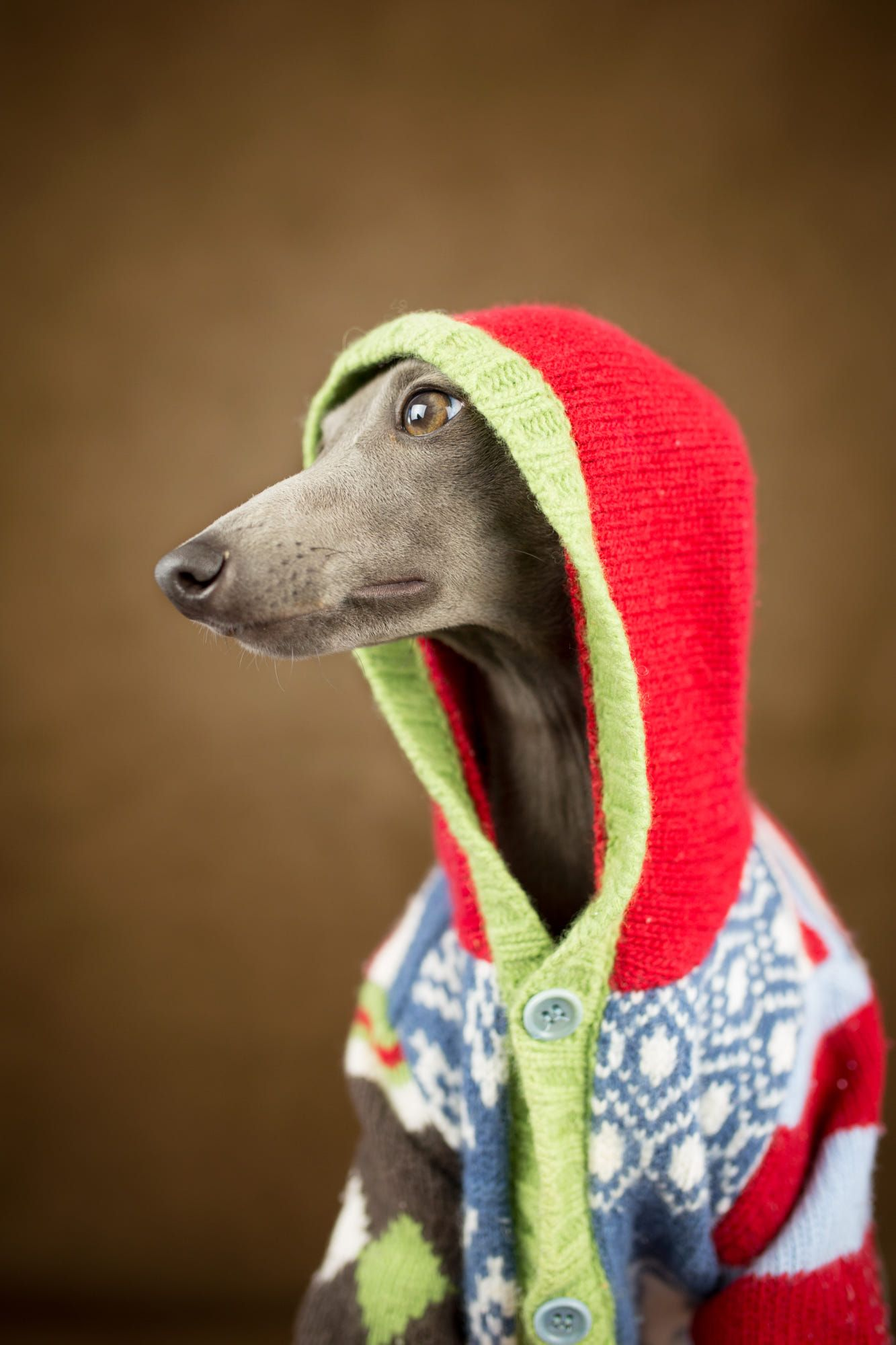 Italian greyhound style by alessandro manco cutest animals ever italian greyhound style by alessandro manco bankloansurffo Images