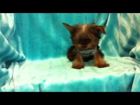Star Yorkie Kennel's 'Troy' - The TINY TEACUP Yorkie puppy