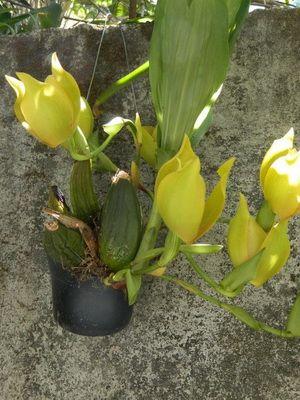Разновидности орхидей с фото и названиями комнатные сорта