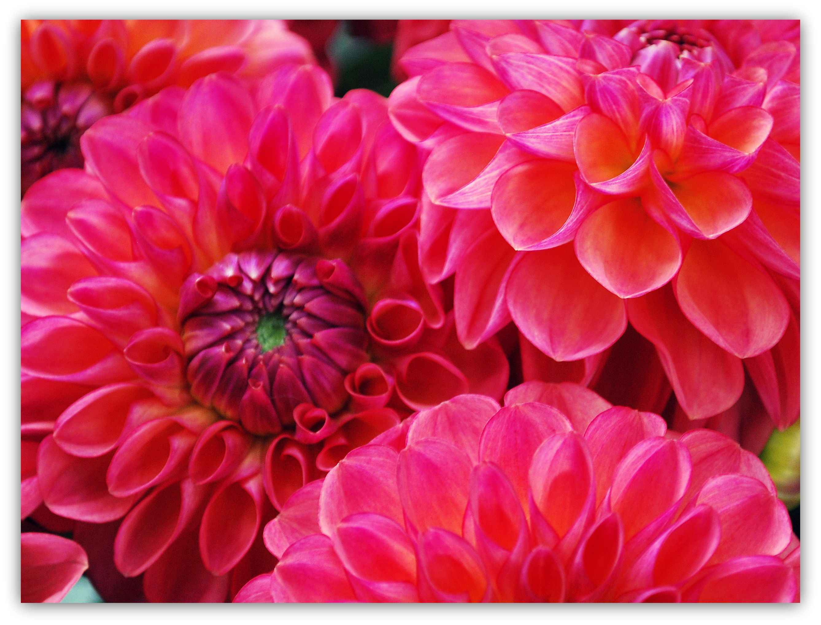 Two Hot Pink Dahlia Hypnotica Flowers Stock Photo - Image ... |Hot Pink Dahlia Flowers