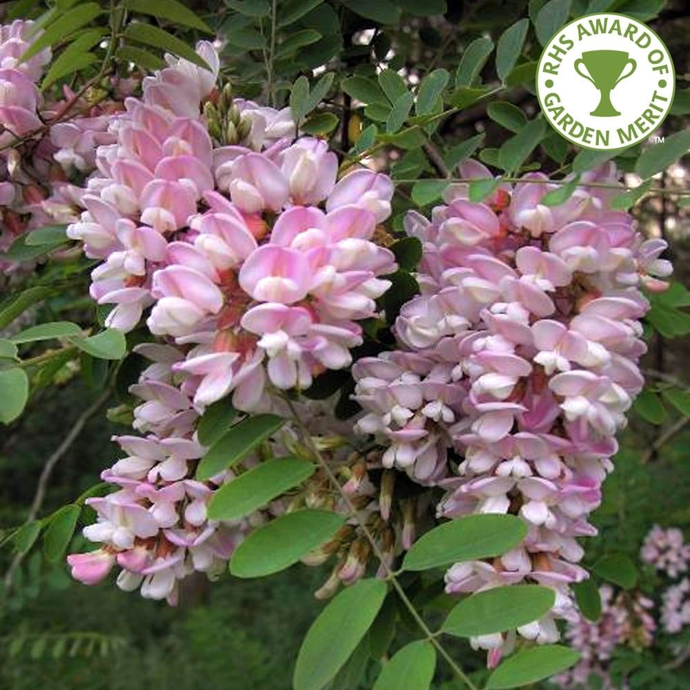 Robinia Pseudoacacia Hillieri Tree Pink Flowering Trees Flowering Trees Types Of Cherries