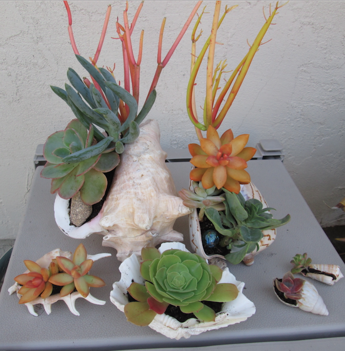 I need more shells... I have the succulent bug