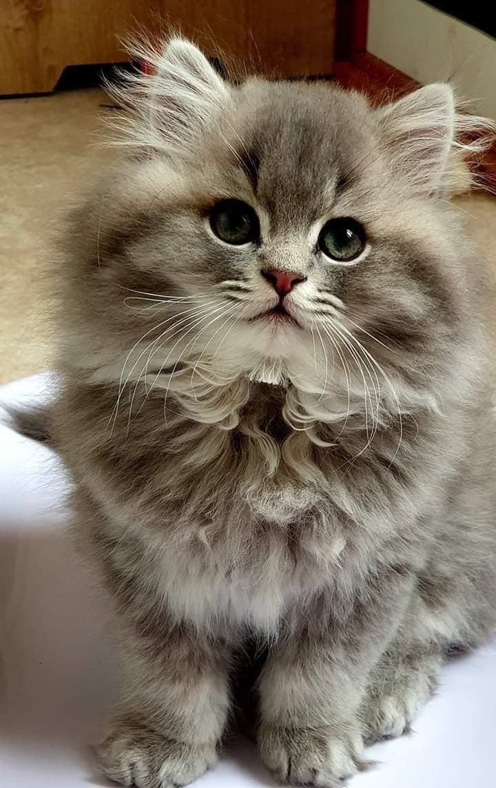 Pin By Haley Thompson Belecque On Pets Cute Cats Cute Puppies