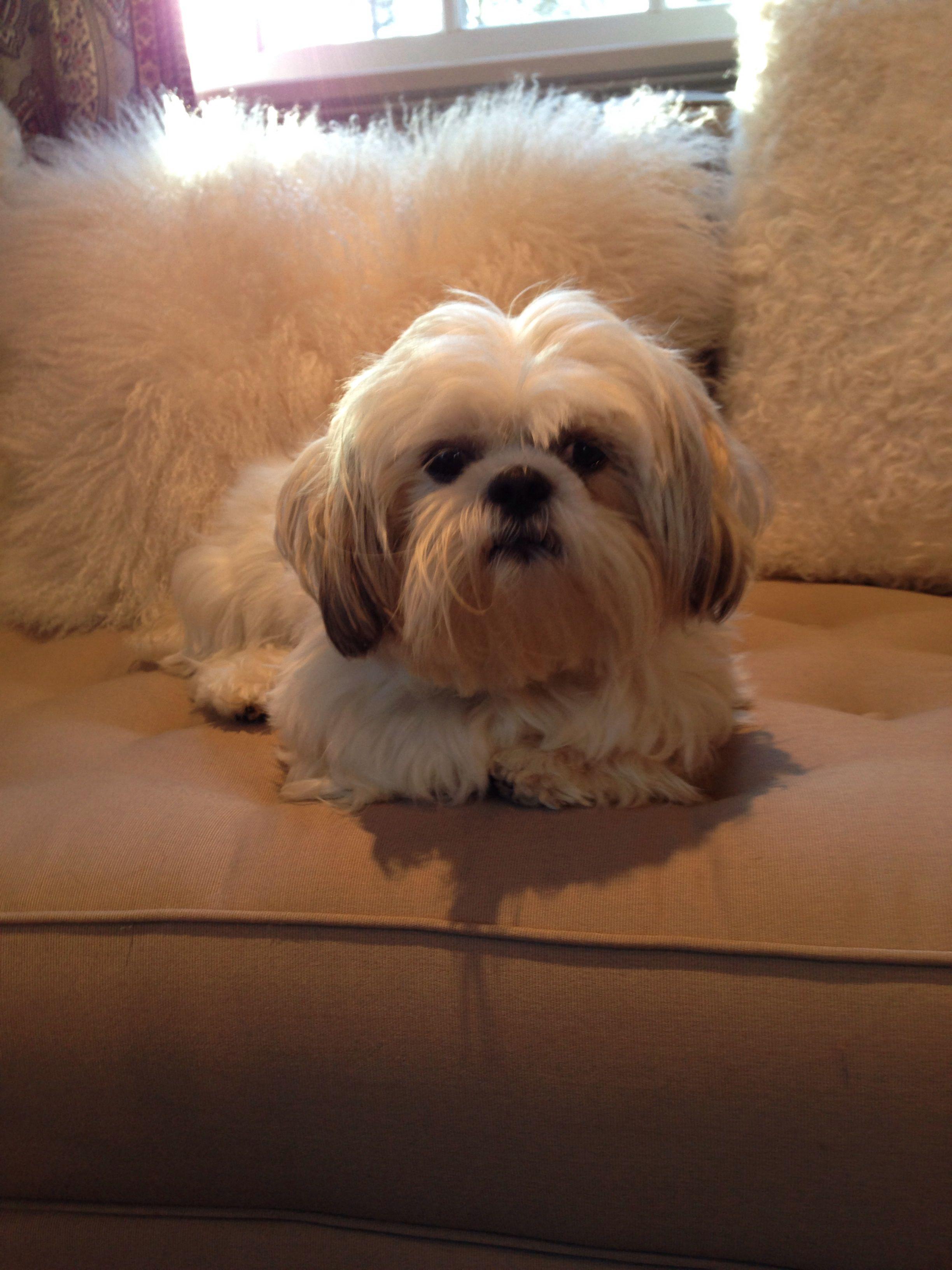 My Little Girl Dora Shih Tzu Dog Shih Tzu Cute Dogs