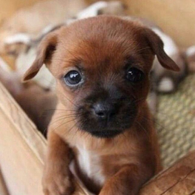 Those Puppy Dog Eyes Too Cute To Ignore Puppy Dog Eyes Puppies