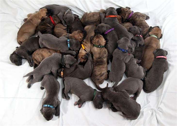 The 21 Most Adorable Puppies Of 2015 Dane Puppies Great Dane