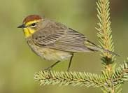 palm warbler - Google Search