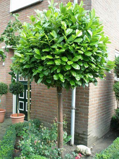 prunus laurocerasus rotundifolia cherry laurel standard. Black Bedroom Furniture Sets. Home Design Ideas