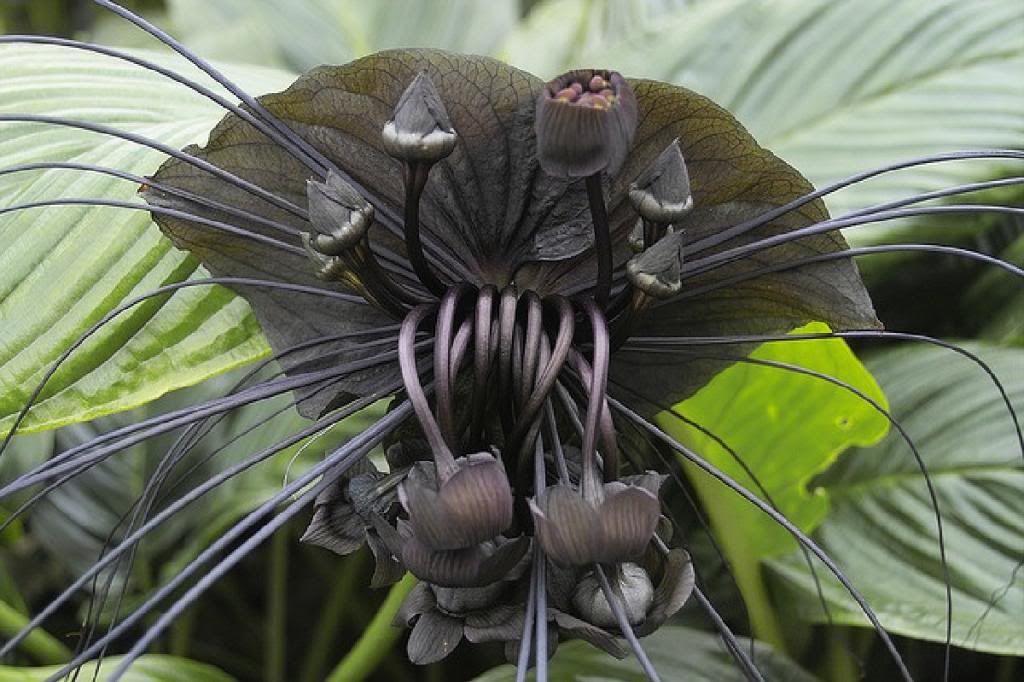 The Black Bat Flower Plants Bat Flower Rare Flowers Und Bat Plant