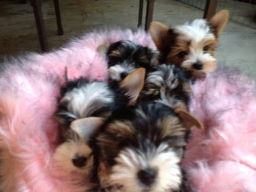 Dogs Puppies For Sale In San Diego Ebay Classifieds Kijiji Page 1 Yorkshire Terrier Terrier Puppies Puppies