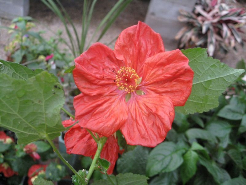 Scientific Name Abutilon Hybridum Bella Select Mix Common Name