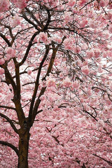 Cherry Blossom Blossom Trees Beautiful Tree Beautiful Flowers