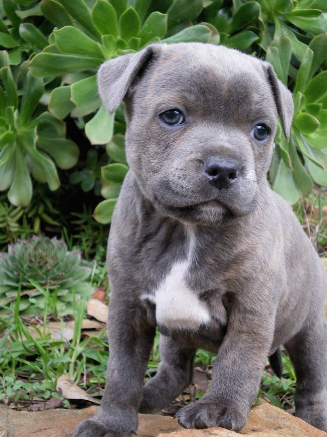 Cutest Little Blue Staffy From Happy Staffy Cute Baby Animals