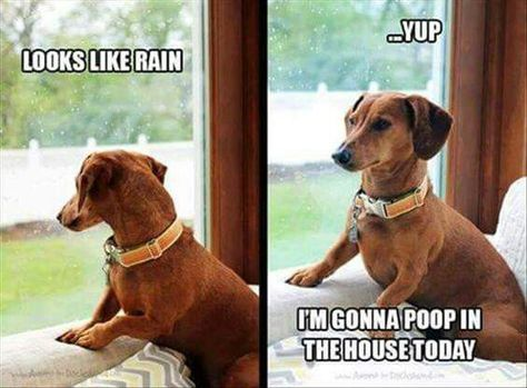 Rain Pooping Inside Dachshund Memes Funny Dachshund Funny Dogs