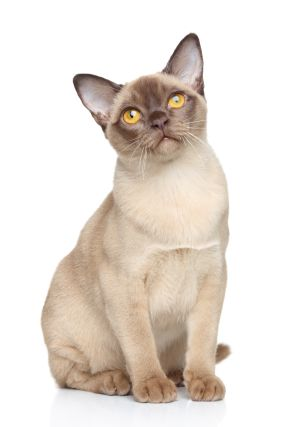 Chocolate Champagne Burmese Cat Pure Breed From Wiki Originated In S E Asia Developed In Usa And Britain Female From Burmese Cat Cat Breeds Tonkinese Cat