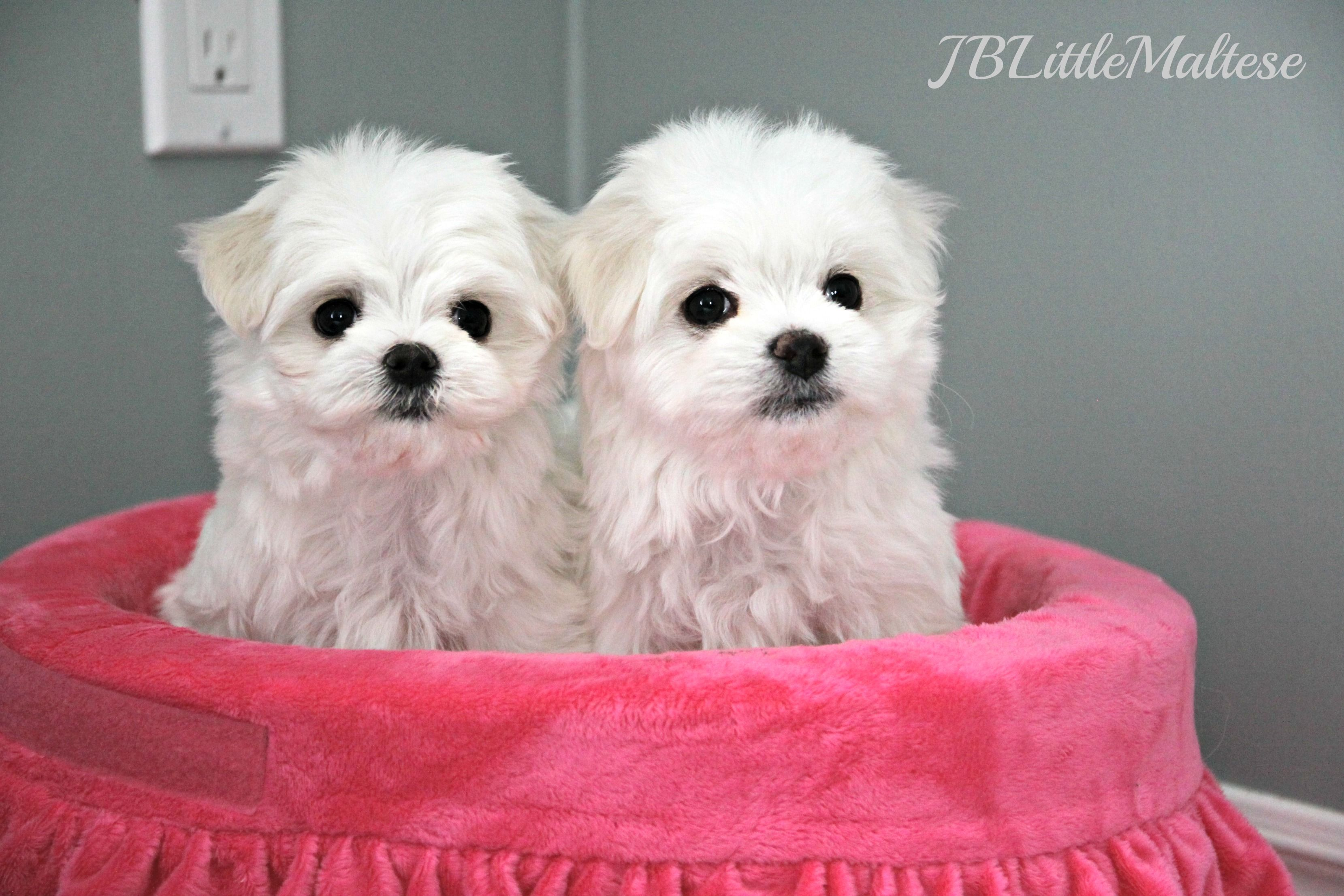 Two Maltese Puppies From Jblittlemaltese Reg D These Gorgeous