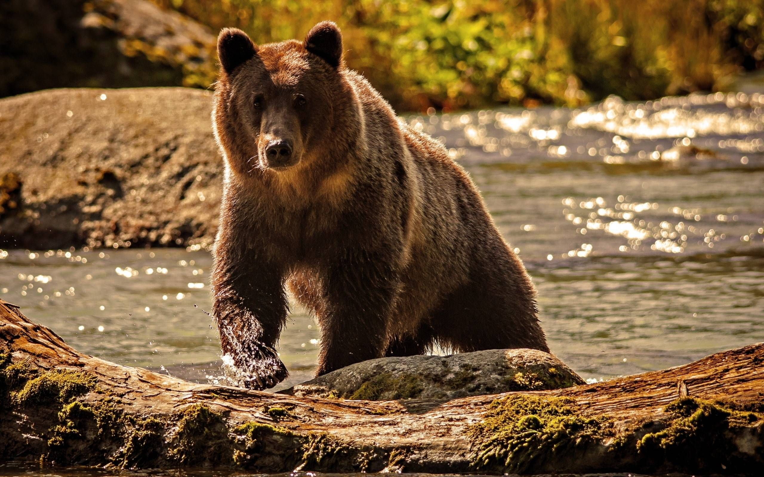 bear background animals wallpapers