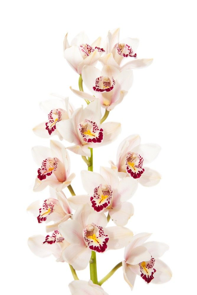 White Cymbidium Orchid Spray Google Search Flower Centerpieces Wedding Cymbidium Orchids Wedding Flowers Summer