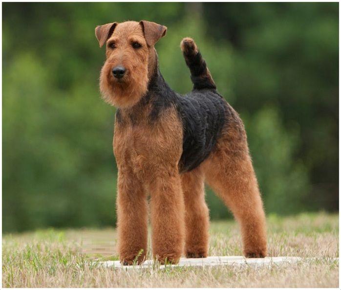 Welsh Terrier Welsh Terrier Airedale Terrier Puppies Happy Dog